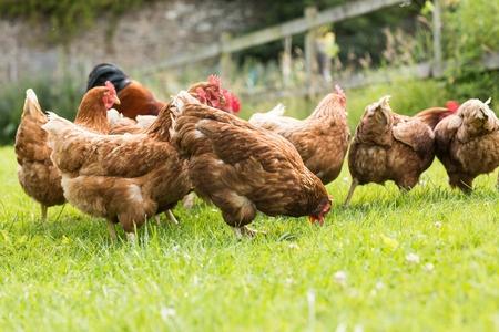 Votre Guide Pour Elever Des Poules Dans Son Jardin Retour